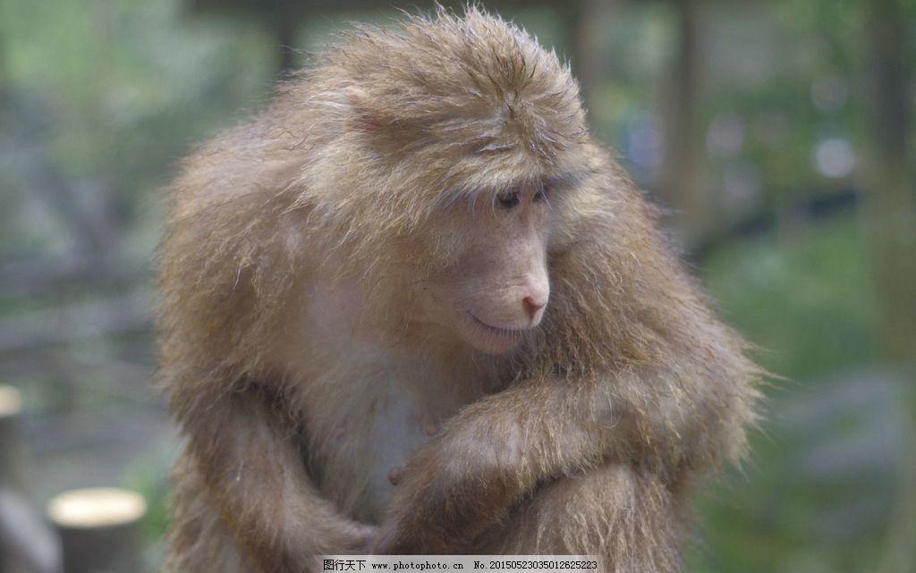 峨眉猴图片_野生动物_生物世界_图行天下图库