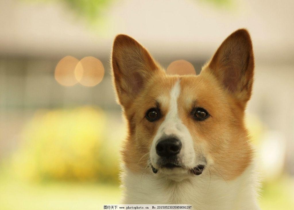 可爱狗狗图片,动物 犬类 犬科 柯基 摄影-图行天下图库