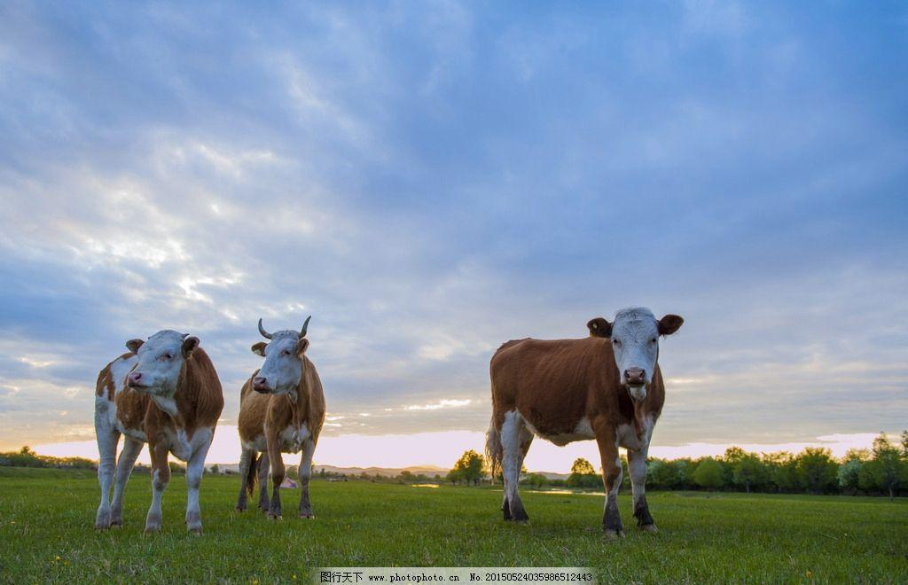 牛 奶牛 蓝天 绿地 牲畜 动物 牛奶 牛肉 摄影 生物世界 家禽家畜 240