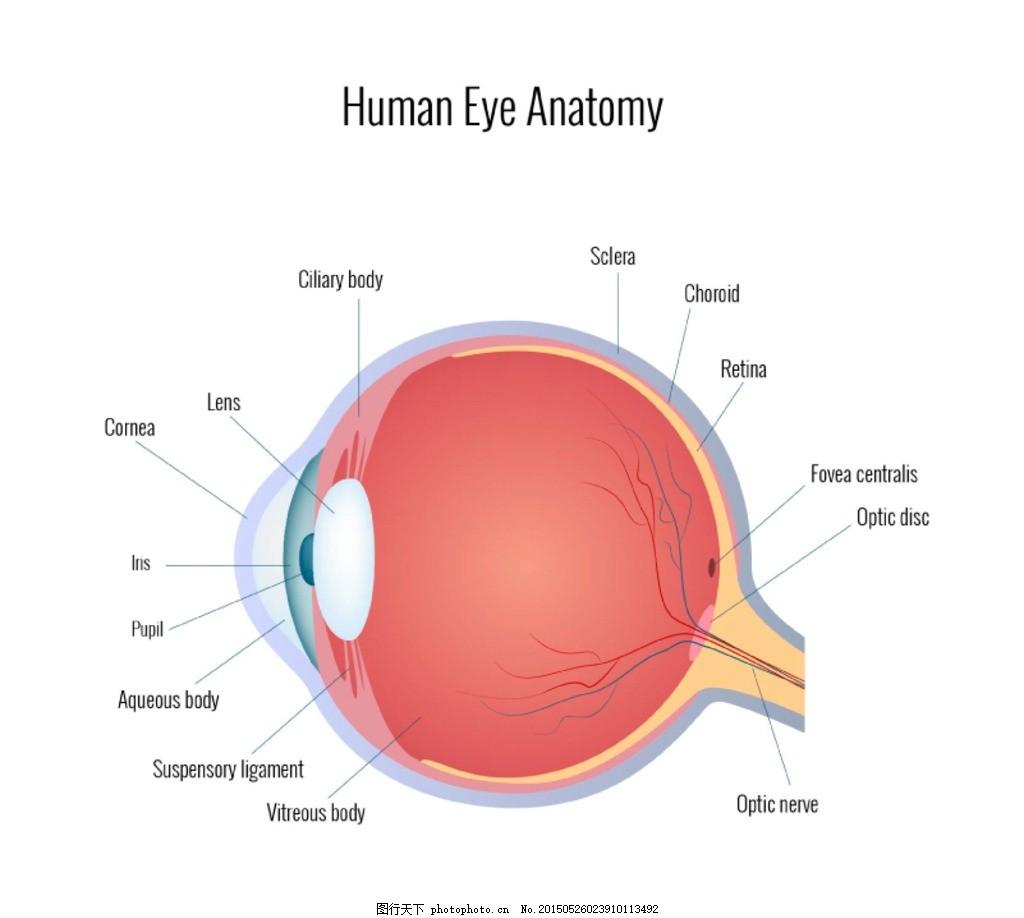 人的眼睛结构图矢量素材