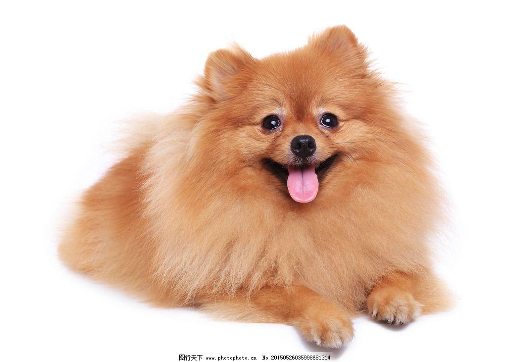 可爱宠物狗 博美犬 小型犬