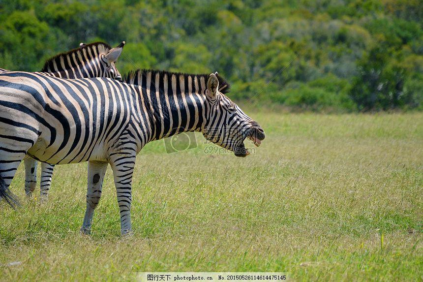 斑马 笑 动物 野生动物 野生 非洲 南非 假期 旅行     红色 jpg