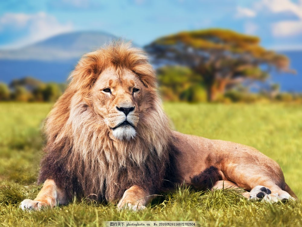草地上的狮子 野生动物 动物世界 陆地动物 生物世界 躺着草地上的