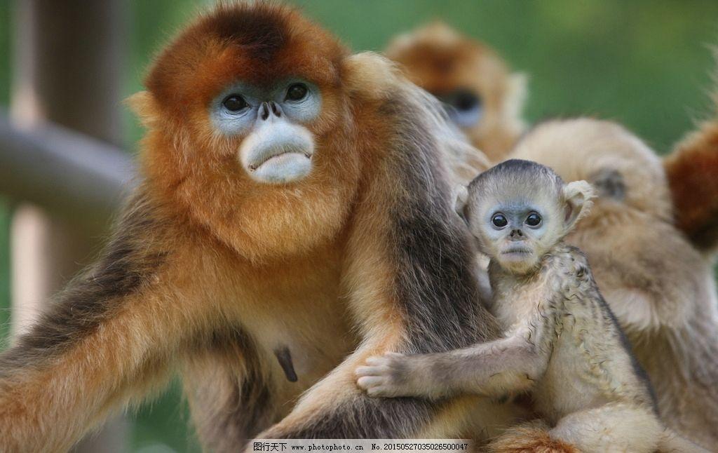 金丝猴 猴子 小猴子 动物 动物园 旅游 摄影 生物世界 野生动物 72dpi