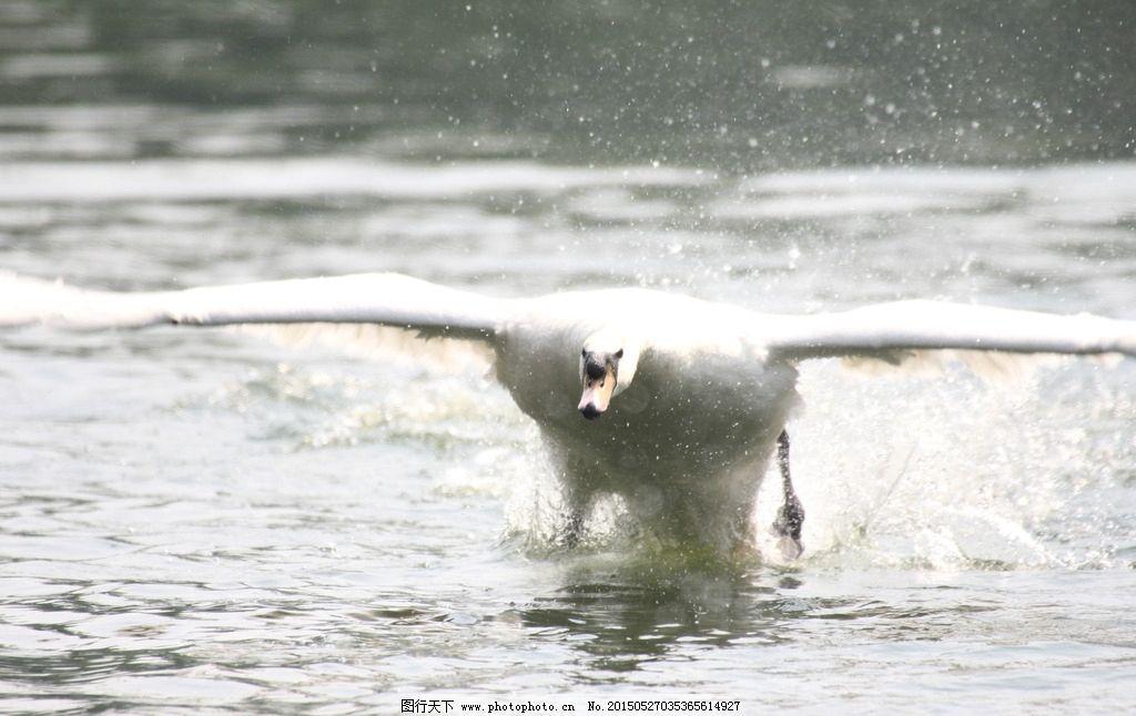 天鹅 飞翔 天鹅入水 飞鸟 鸟 展翅 动物世界 摄影 生物世界 鸟类 72