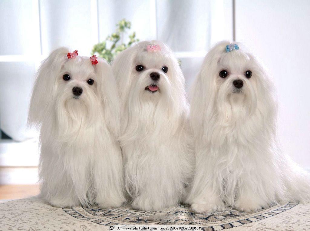 狗 宠物 动物 三只狗 可爱小狗 摄影 生物世界 家禽家畜 72dpi jpg