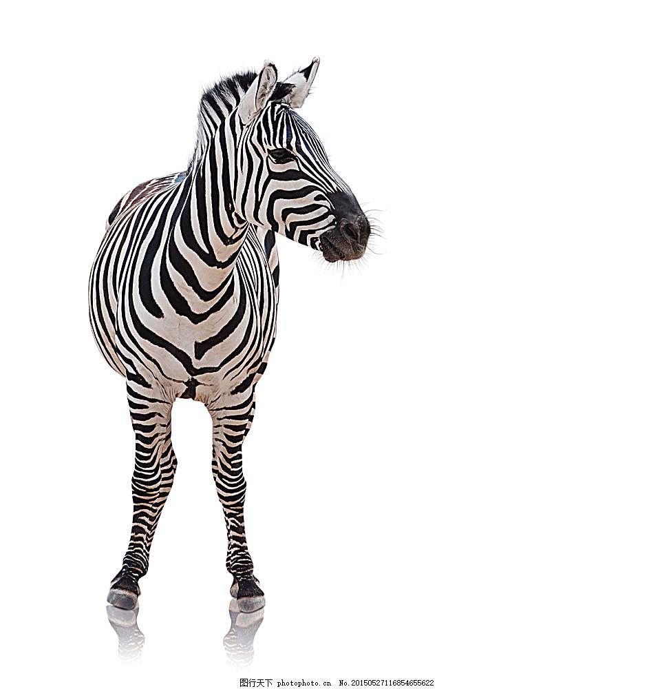 斑马摄影 动物摄影 动物世界 陆地动物 生物世界 图片素材 白色