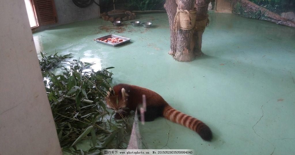 动物园 武汉动物园 野生动物园 自然景色 浣熊 摄影 生物世界