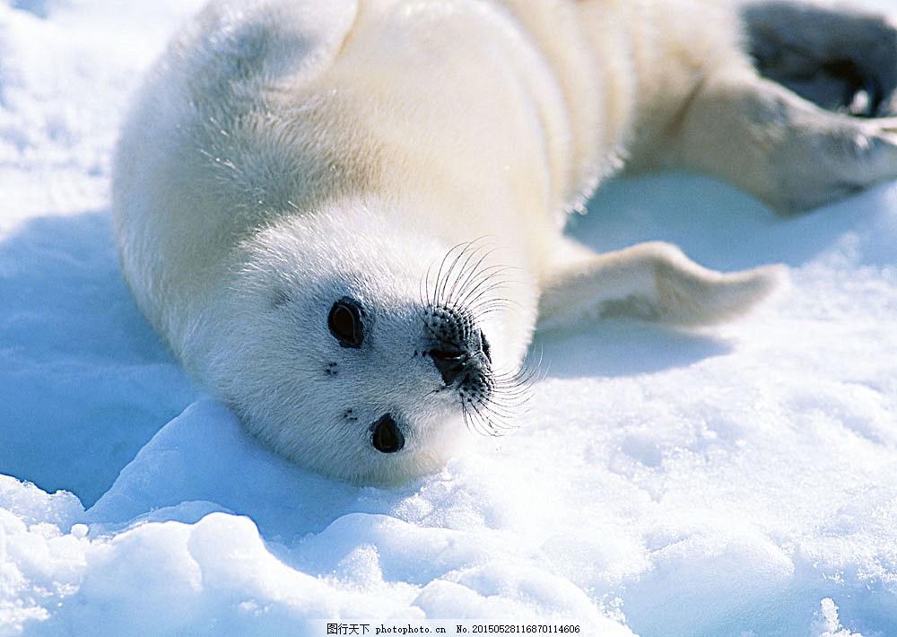 雪地上的海豹 动物世界 生物世界 野生动物 水中生物 图片素材