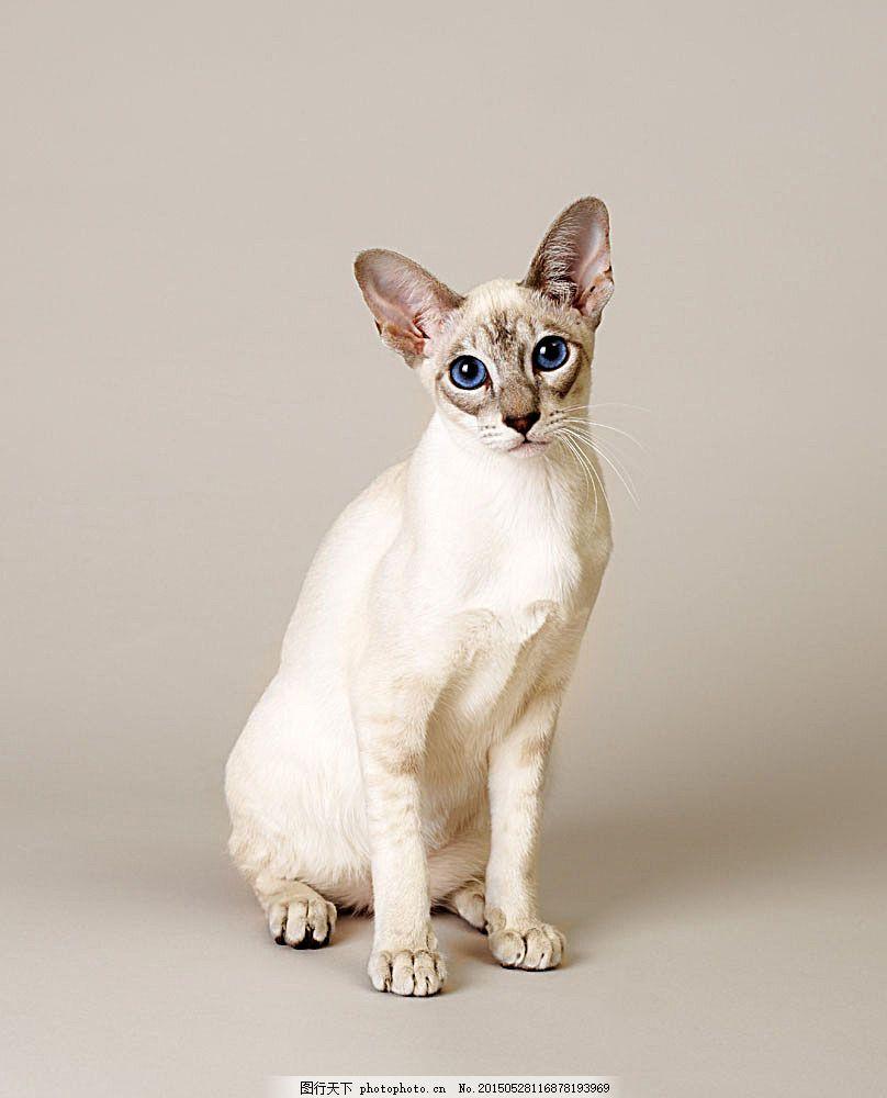 暹罗猫 小猫 可爱 猫咪 萌 宠物猫 动物世界 陆地动物 生物世界