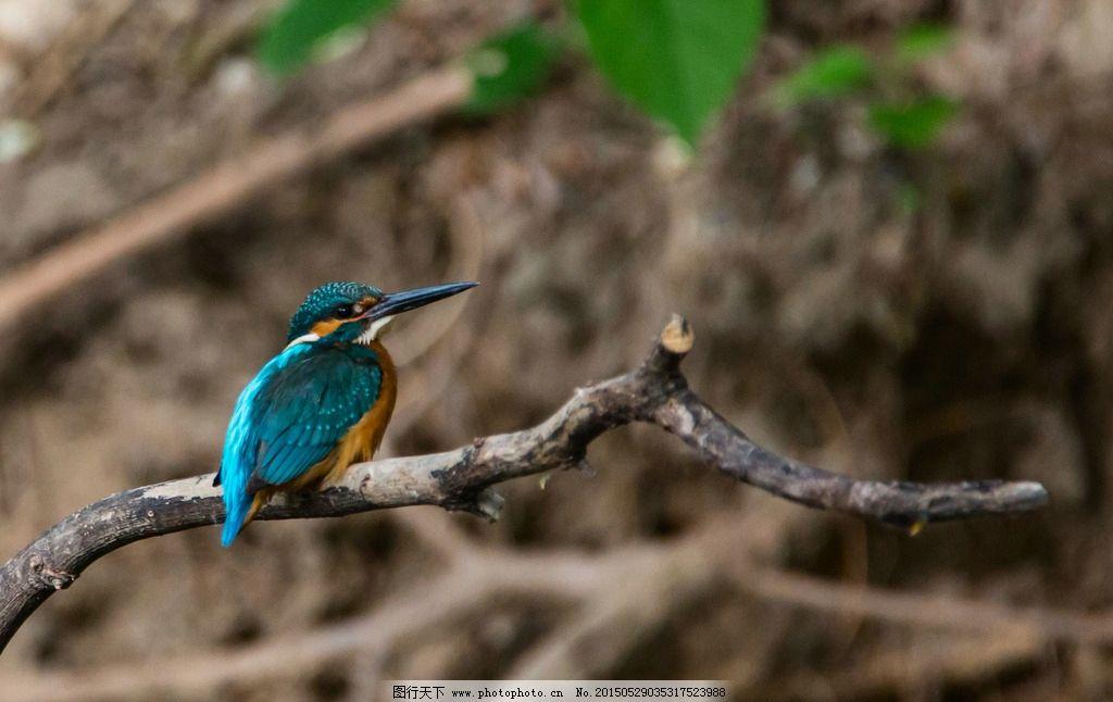 翠鸟 水鸟 尖嘴 翠蓝的羽毛 红爪 树枝 绿叶 北京动物园 北京动物园的