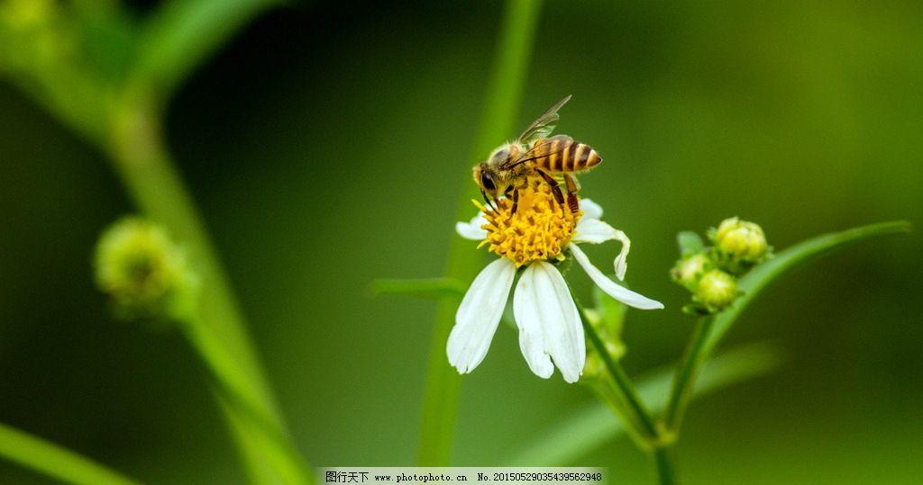 蜜蜂 昆虫 近景 局部 特写 生物世界 动物世界 摄影 飞行动物 蜜蜂采