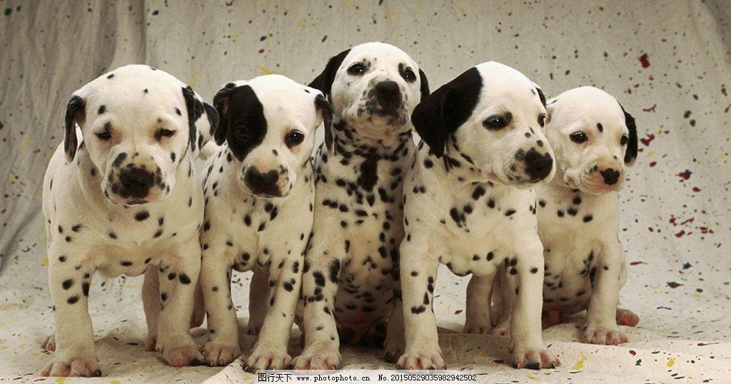 可爱 小狗 斑点狗 宠物狗 动物 摄影 生物世界 家禽家畜 72dpi jpg