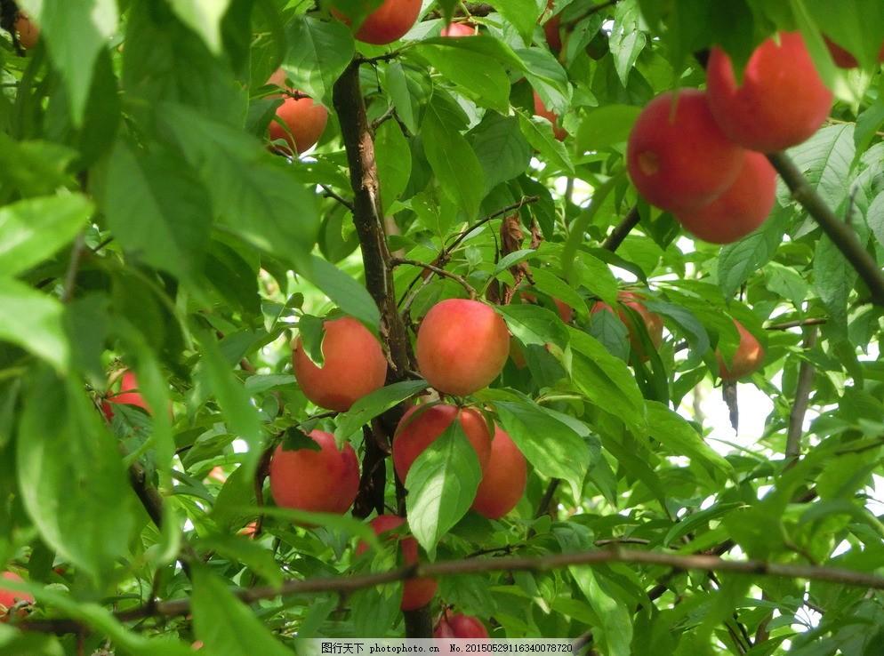 桃子果树 果园 风景 自然风光 农家果园 桃树 水果 生物世界