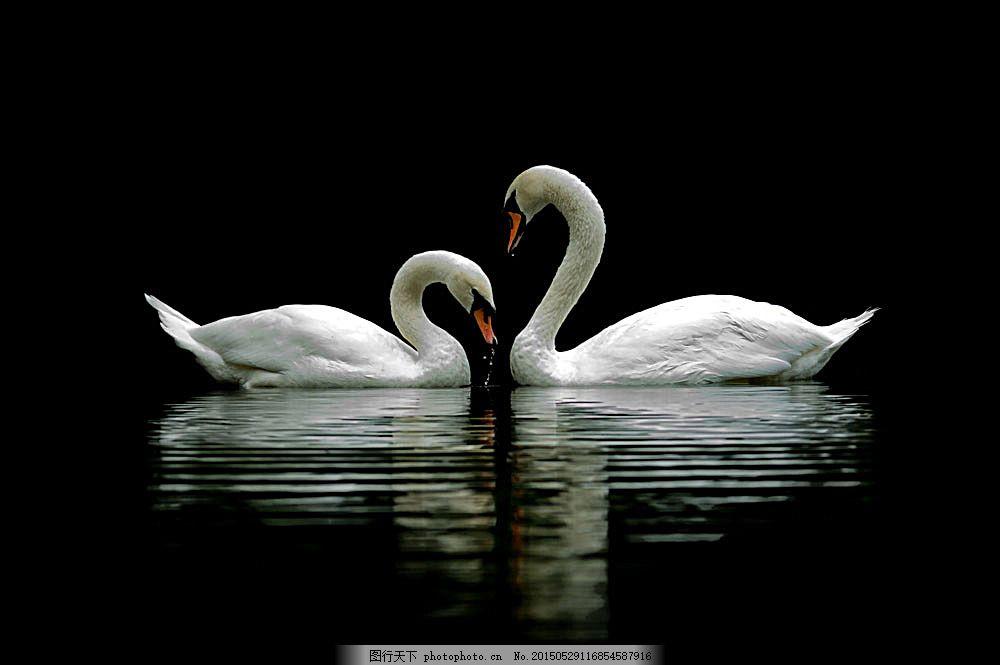 湖面上的天鹅 湖泊 鸟类动物 动物摄影 空中飞鸟 生物世界 图片素材