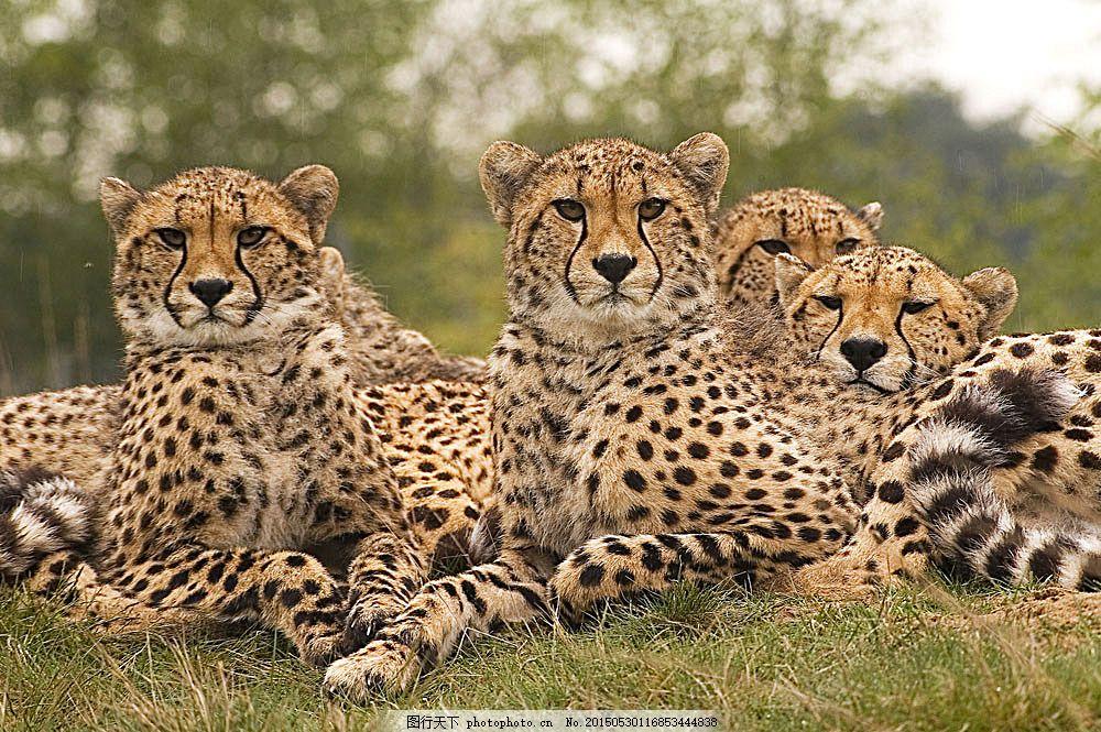 一群豹子 草地 动物 野生动物 动物世界 动物摄影 陆地动物 生物世界