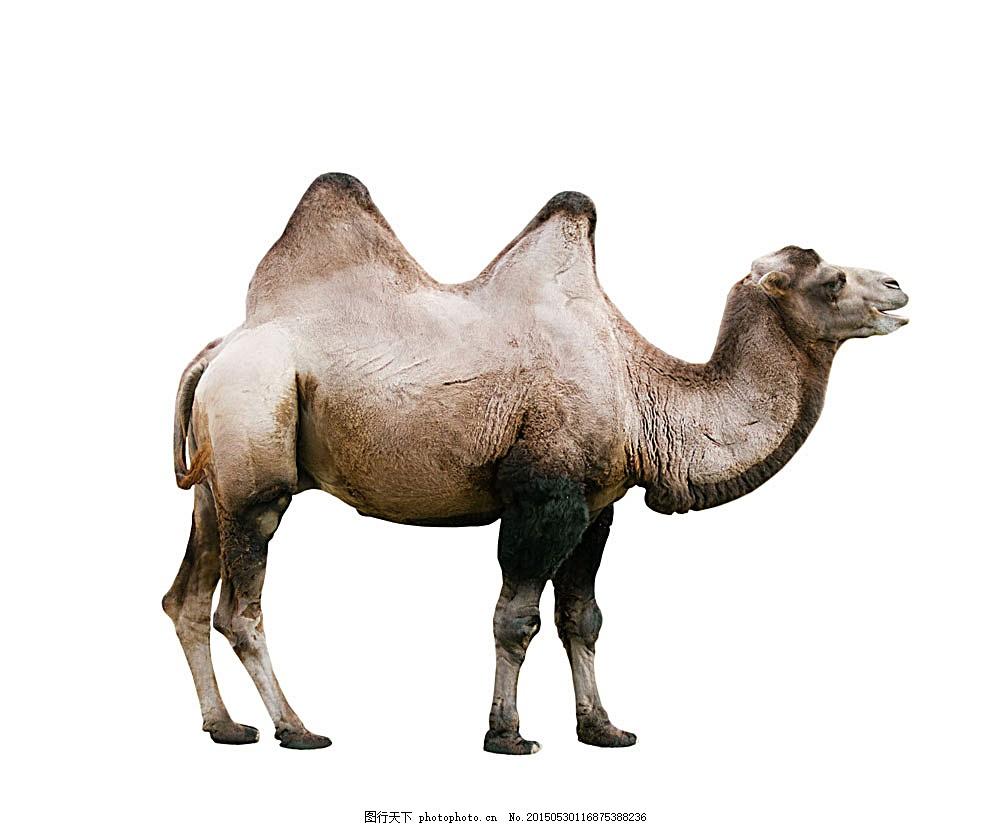 骆驼摄影 野生动物 动物摄影 动物世界 陆地动物 生物世界 图片素材