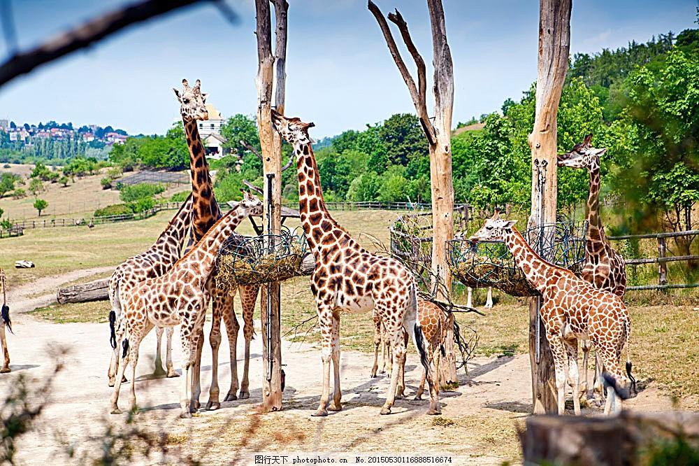动物园里的长颈鹿 长颈鹿 动物世界 动物摄影 陆地动物 生物世界 图片