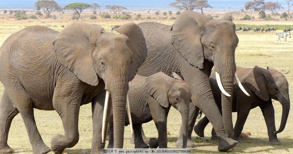 大象 非洲象 非洲草原 象牙 野生动物 非洲 生物世界 野生动物 摄影