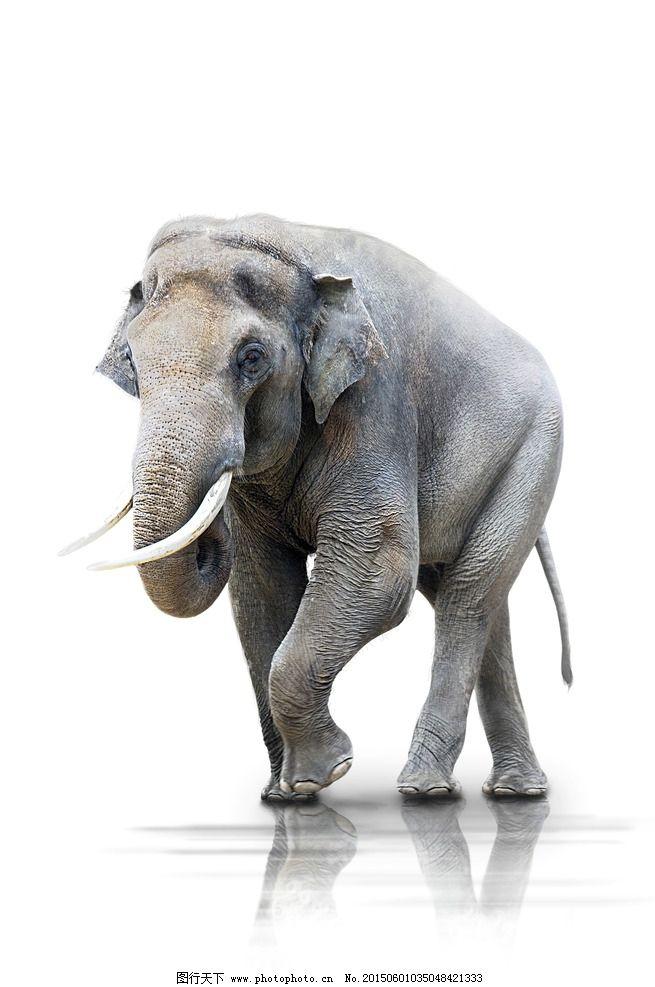 大象 亚洲象 象牙 野生动物 非洲 生物世界 野生动物 摄影 生物世界