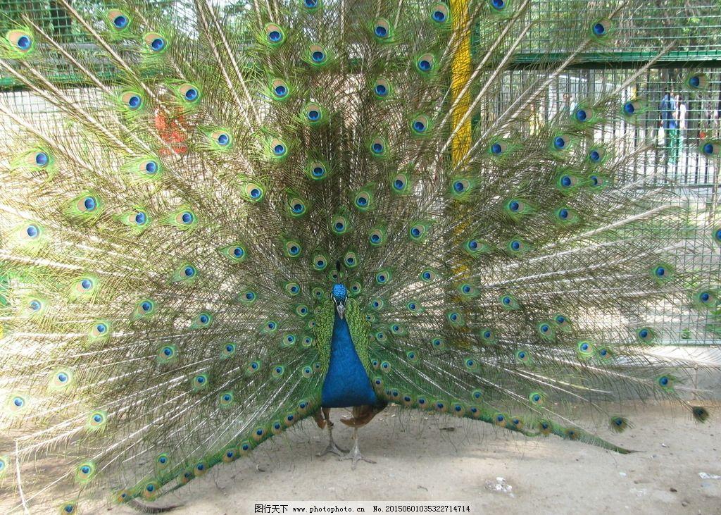 孔雀 孔雀开屏 鸟类 飞禽 动物 动物世界 动物园 动物摄影 动物世界