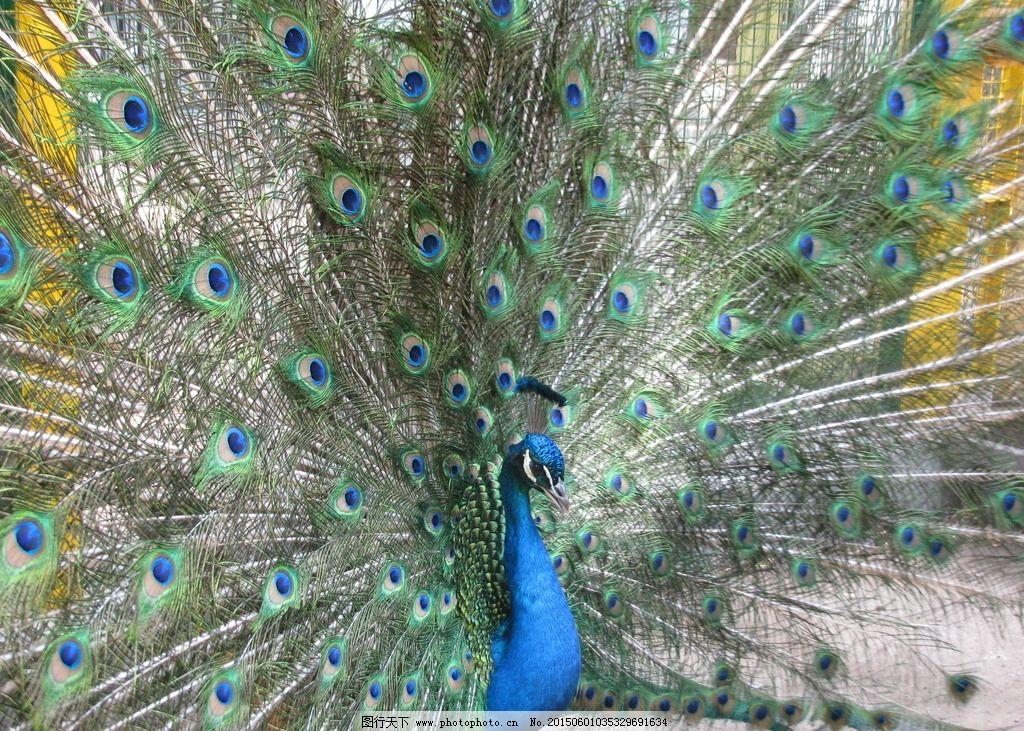 孔雀开屏 飞禽 动物 动物世界 动物园 动物摄影