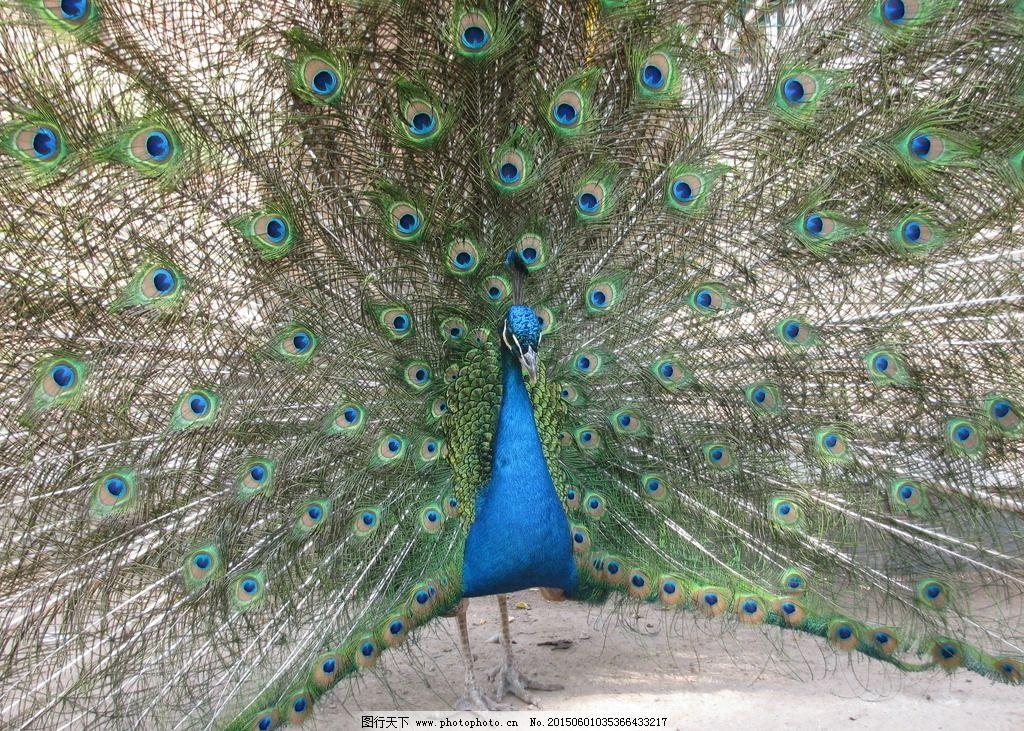 孔雀开屏 鸟类 飞禽 动物 动物世界 动物园 动物摄影 生物世界
