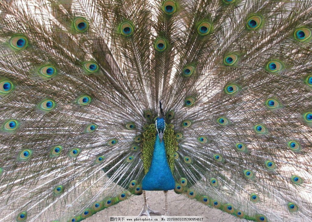 孔雀开屏 孔雀 鸟类 飞禽 动物 动物世界 动物园 动物摄影 动物世界