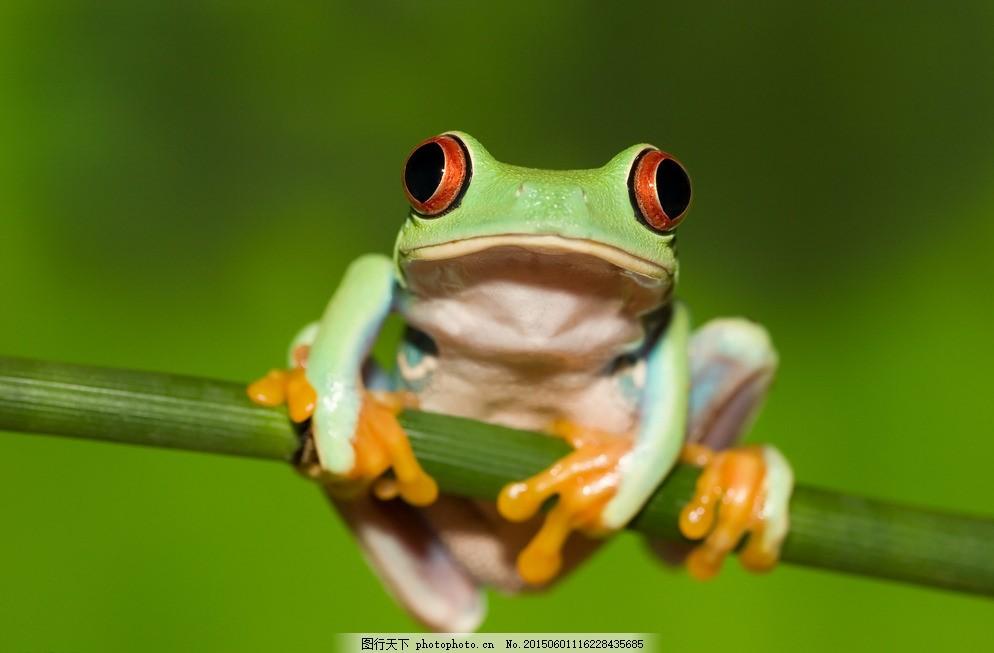 热带雨林青蛙 青蛙 雨蛙 热带雨林 摄影 动物 两栖动物 动物矢量 生物