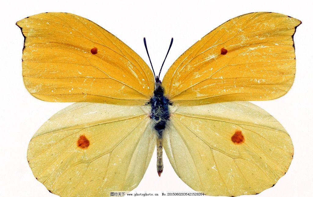 蝴蝶素材 蝴蝶 漂亮蝴蝶 飞翔蝴蝶 精致蝴蝶 动物 摄影 生物世界 昆虫