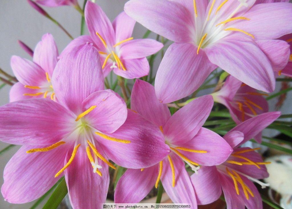 兰花 韭兰-韭兰花图片