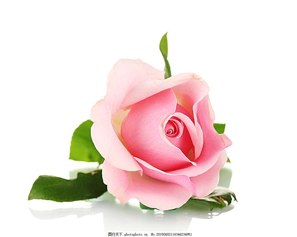 风景  一朵玫瑰花图片下载 玫瑰花 情人节 植物花朵 美丽鲜花 漂亮