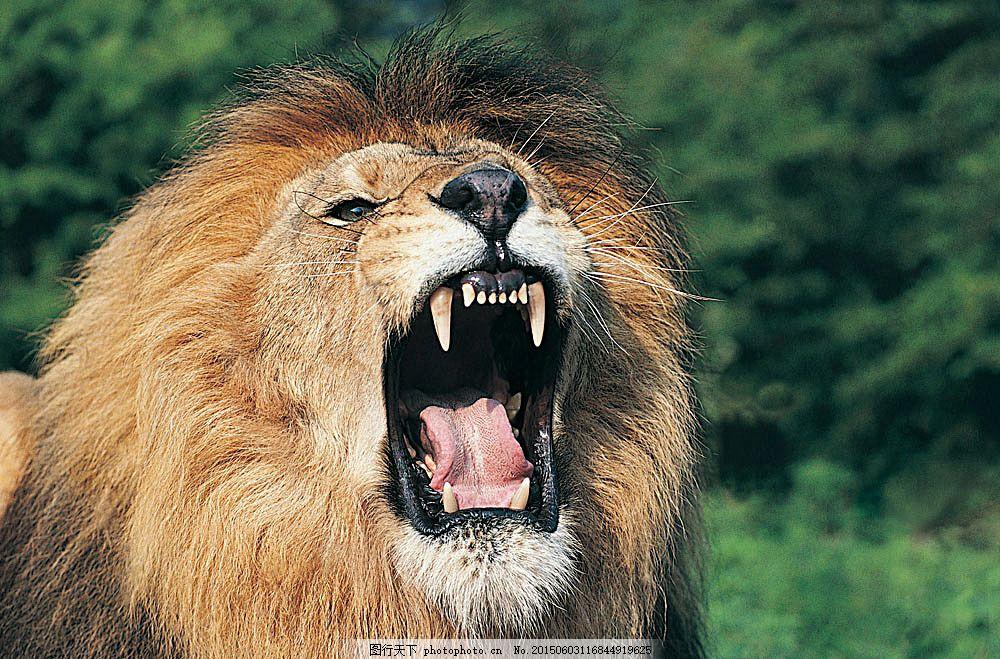 大吼的狮子 动物 野生动物 张嘴 雄狮 锋利牙齿 陆地动物 生物世界