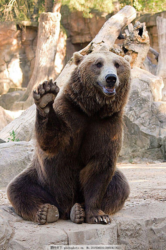 可爱小熊 棕熊 狗熊 动物世界 动物摄影 陆地动物 生物世界 图片素材