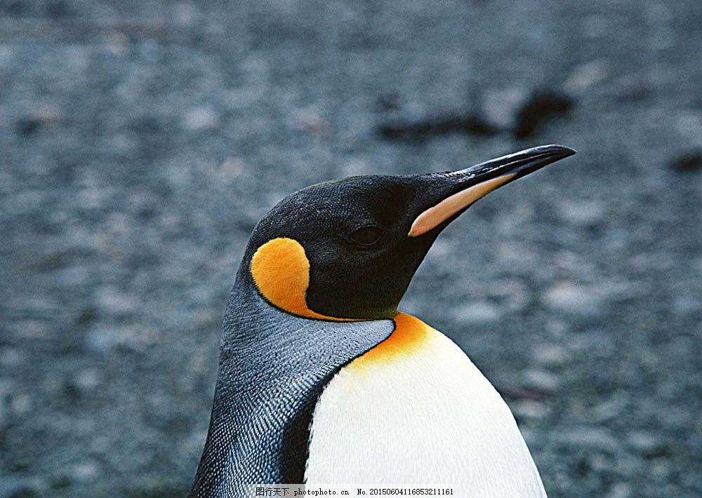 企鹅 动物世界 生物世界 南极 水中生物 图片素材 白色