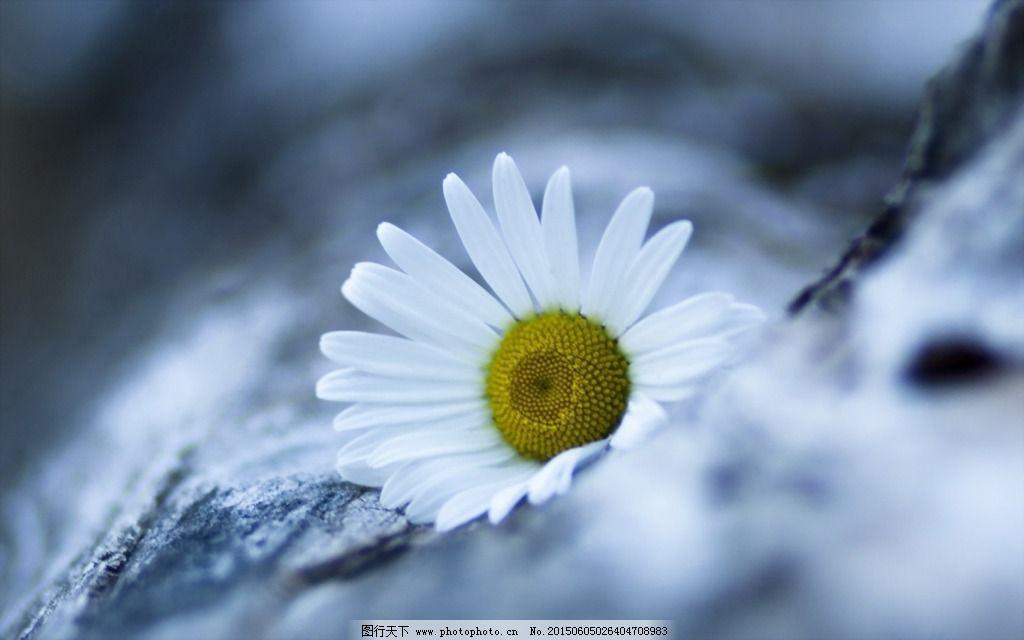 背景 壁纸 高清 白色 小雏菊 图片素材 风景|生活|旅游|餐饮   上传