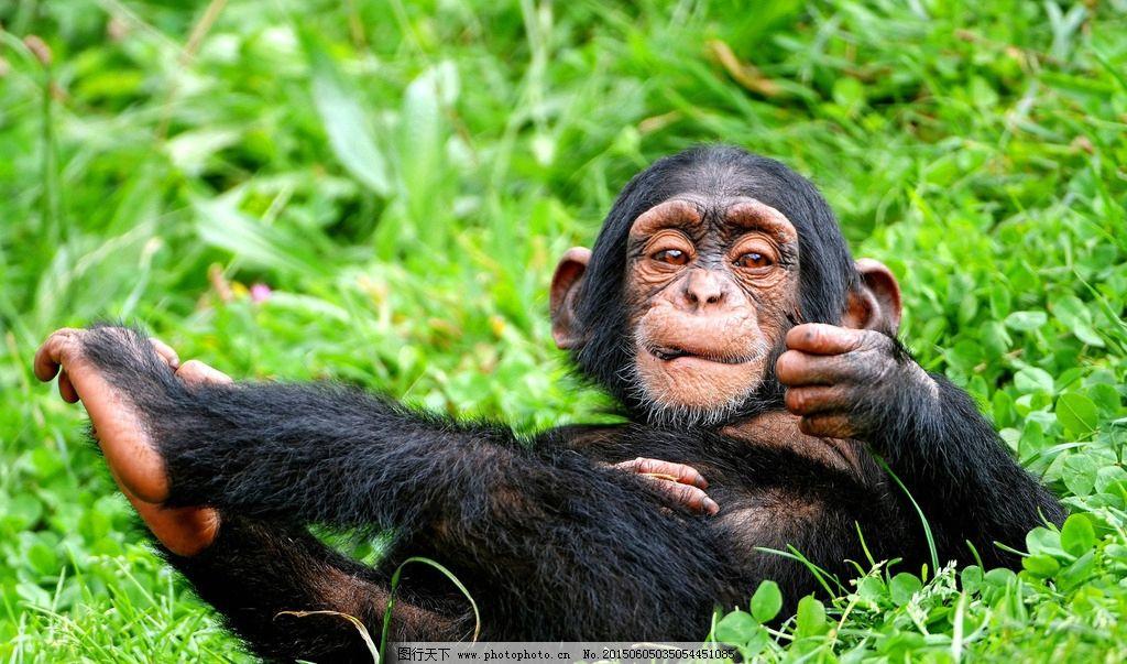 小猩猩图片_野生动物_生物世界_图行天下图库