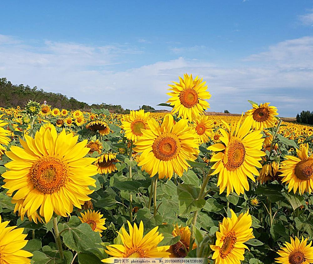 向日葵风景 葵花 美丽鲜花 美丽花朵 花卉 美丽风景 自然景观