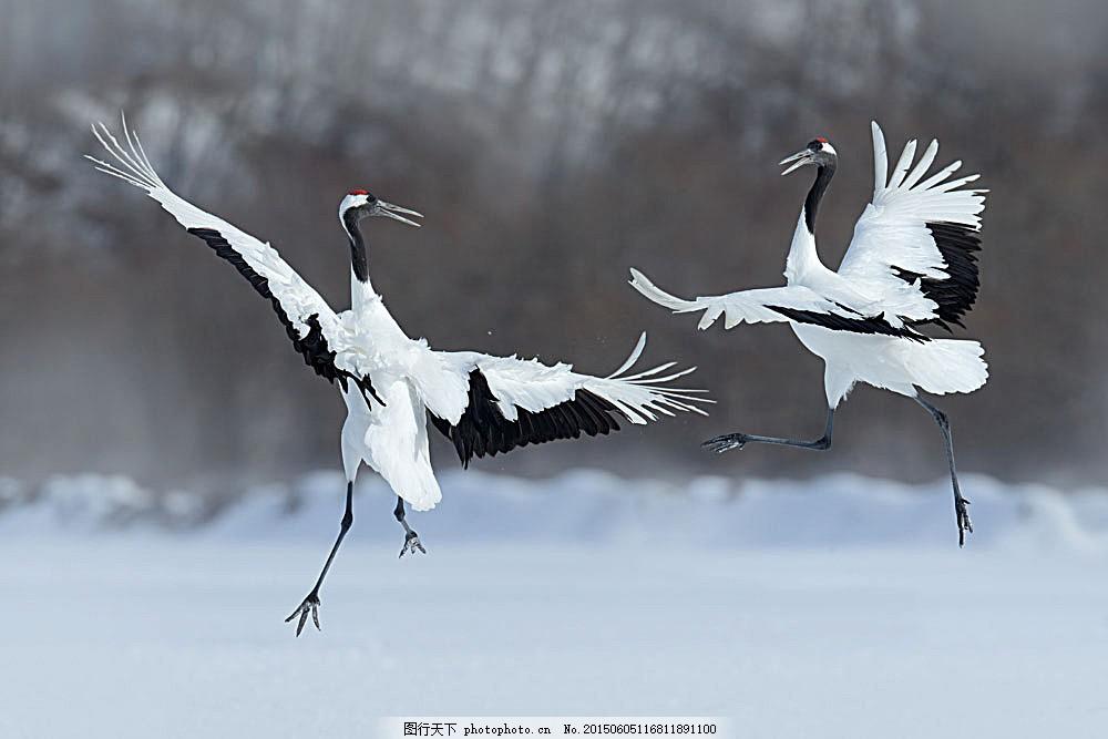 美丽的丹顶鹤 两只丹顶鹤 一对丹顶鹤 陆地动物 生物世界 图片素材