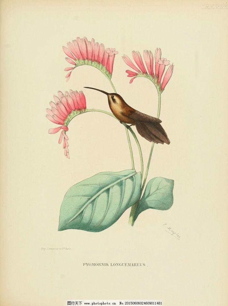 印度鸟类 巴西鸟类 手绘 花鸟 鸟儿 鸟 禽类 西方图谱 蜂鸟 鸟类素材