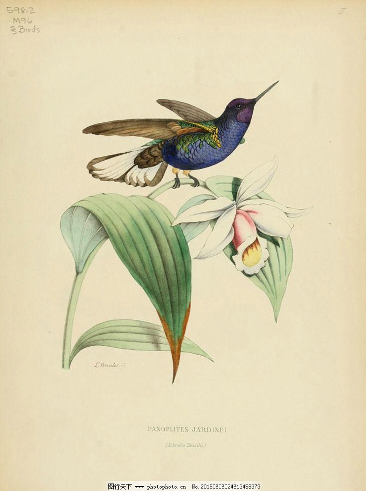 蜂鸟的自然历史 高清手绘鸟类 鸟类太阳鸟 天堂鸟 美国鸟类 亚洲鸟类
