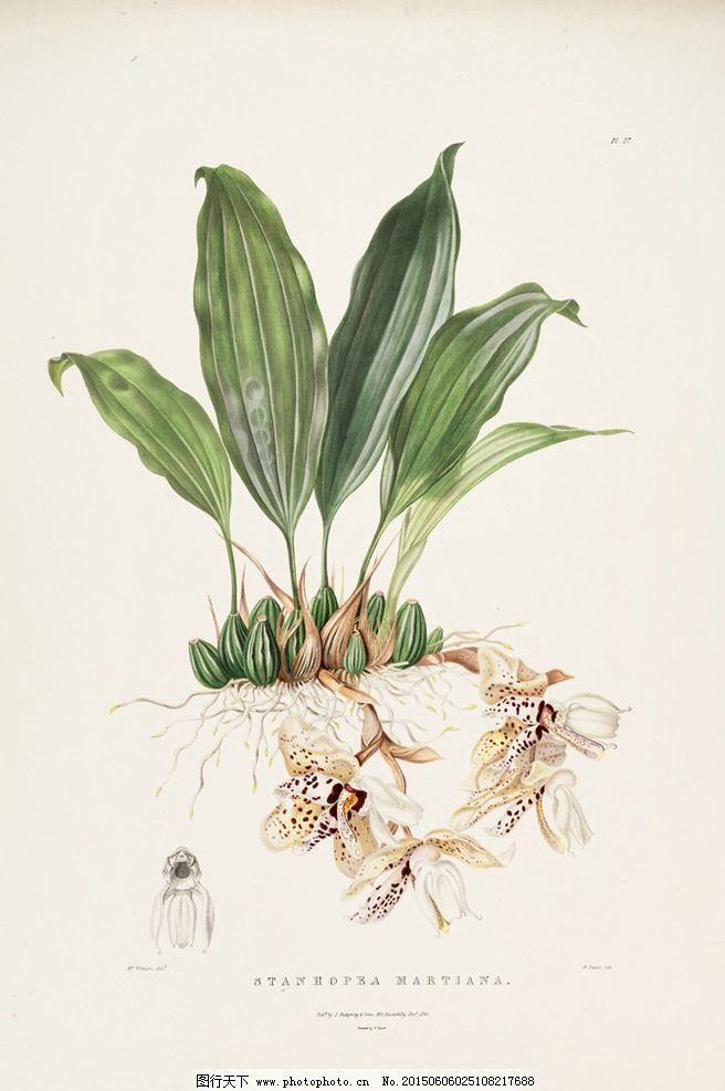 手绘兰花 植物图谱