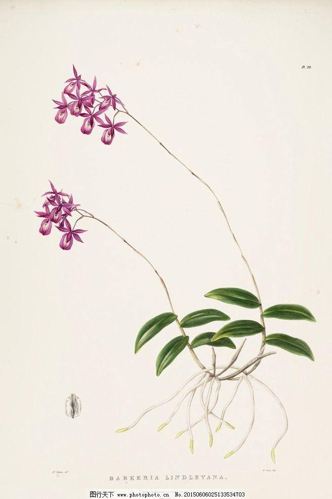 手绘兰花植物图谱图片