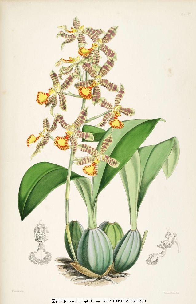 手绘图谱花卉图片