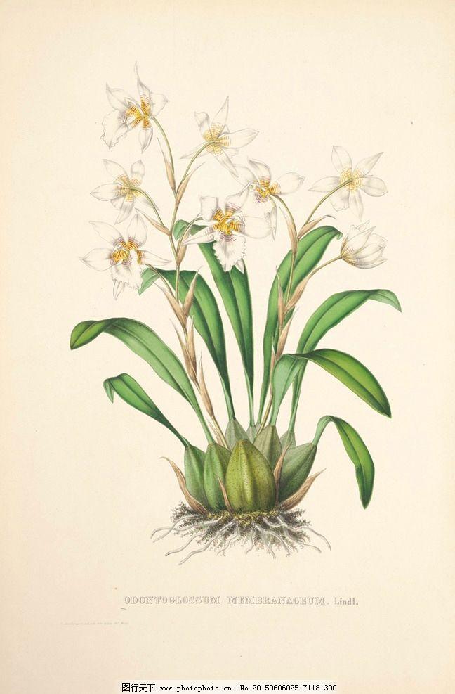 手绘兰花 植物图谱 花卉图片