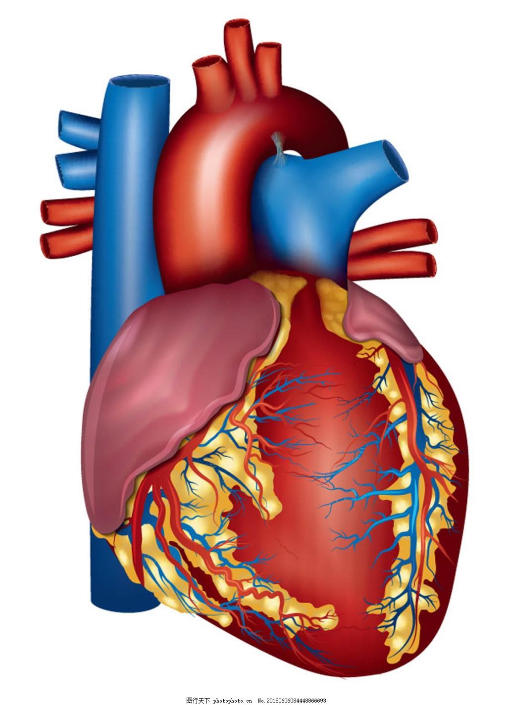 人体心脏器官设计 人体心脏器官设计矢量素材 人体器官 结构图 名称