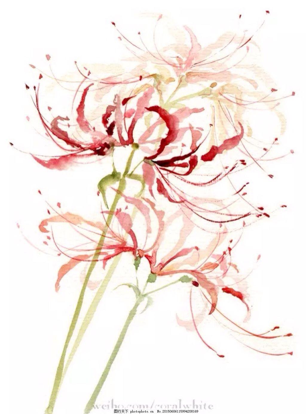 手绘彼岸花 手绘 水彩 彼岸花 红色     白色 jpg
