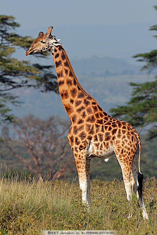 草原上的长颈鹿 长颈鹿 动物世界 动物摄影 非洲草原动物 陆地动物
