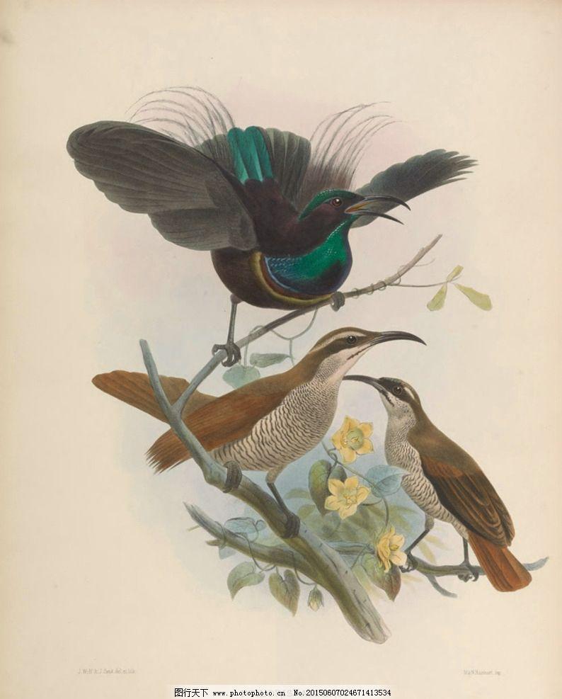 手绘天堂鸟 图谱 高清手绘鸟类图片