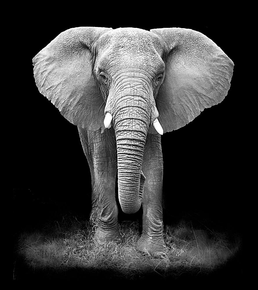 黑白大象摄影 动物 动物世界 动物摄影 陆地动物 生物世界 图片素材